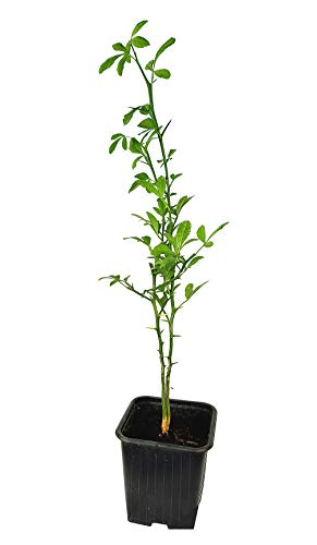 Seedeo® Bitterorange (Poncirus trifoliata) Pflanze ca. 20-30 cm