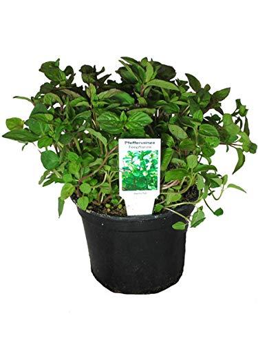 3 Pflanzen Pfefferminze,Mentha x piperita