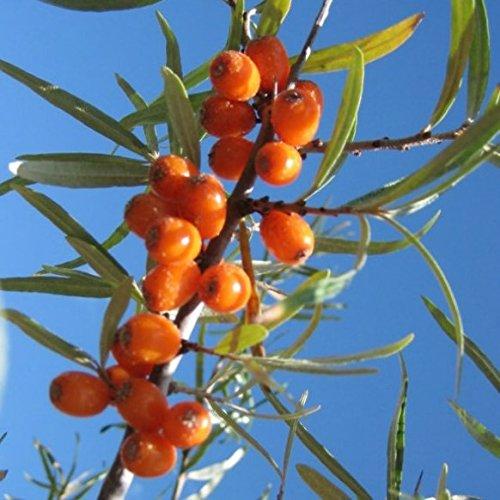 Müllers Grüner Garten Shop Sanddorn Set: 1 weibliche Pflanze Leikora und 1 männliche Pflanze Pollmix im 3 Liter Topf