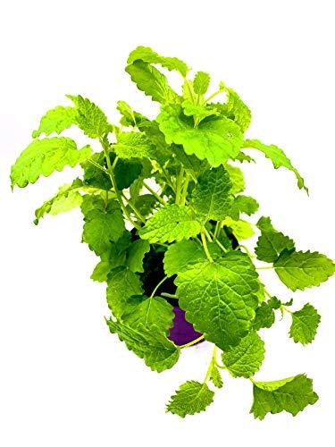 Florapartner Zitronenmelisse, Kräuter Pflanze, Melissa officinalis 3Pfanzen