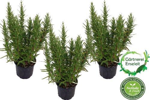 3 Pflanzen Rosmarin im 12 cm Topf - Rosmarinus officinalis, Rosmarin, Marktfrisch