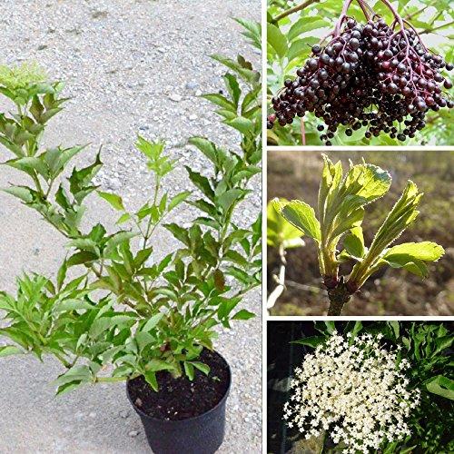 Müllers Grüner Garten Shop Schwarzer Holunder Haschberg Sambucus nigra, großfrüchtige Sorte Pflanze im 3-5 Liter Topf