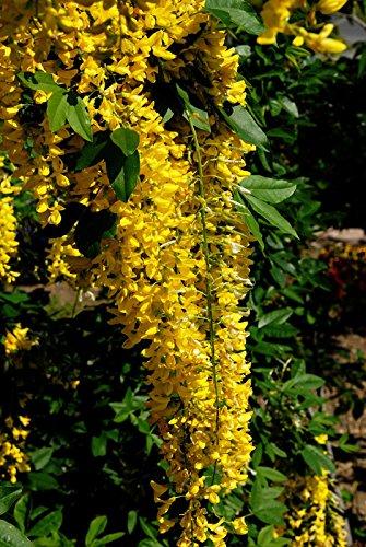 Edelgoldregen Vossii Laburnum watereri Vossii Containerware 60-100 cm