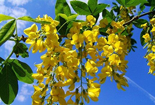 Goldregen Pflanze