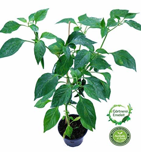 Cayenne Chili Pflanze