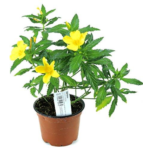 Damiana Pflanze