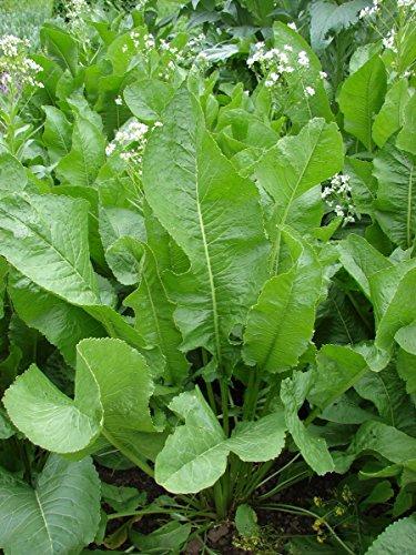 Meerrettich Pflanze