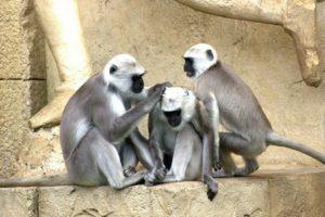 Affen geben sich eine Kopfmassage
