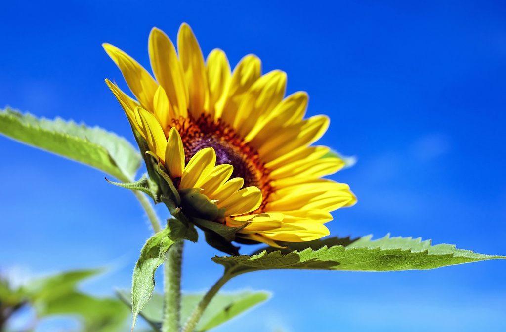 Blauer Himmel Sonnenblume