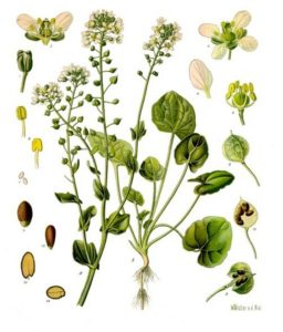 Löffelkraut Cochlearia_officinalis