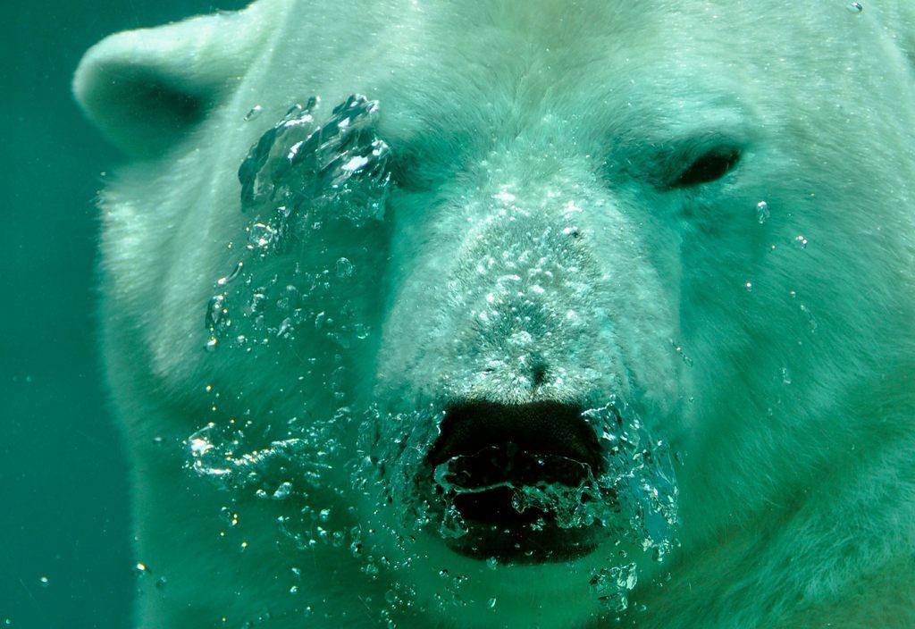 Eisbär Wasser