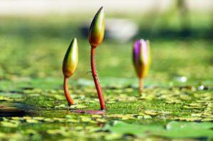 Grün Farbwirkung Wasserlilien
