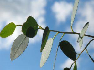 Eukalyptus Duft Aroma