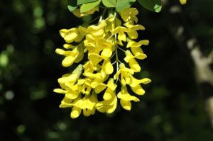 Laburnum Goldregen