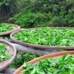 Teeblätter frisch trocknen