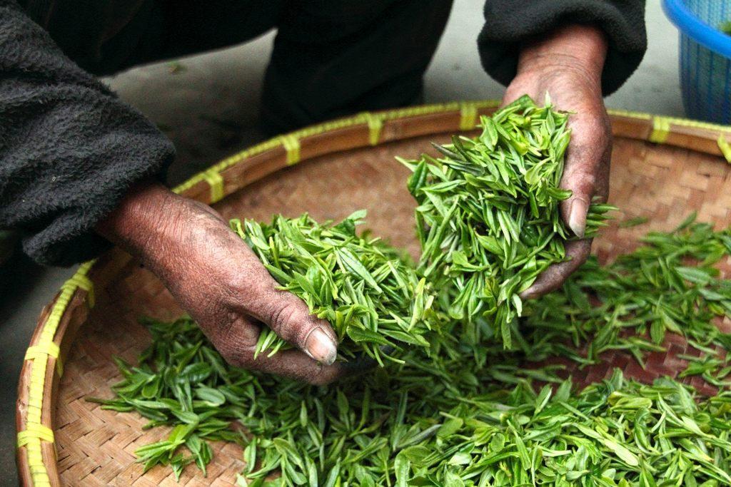 Teeblätter Ernte