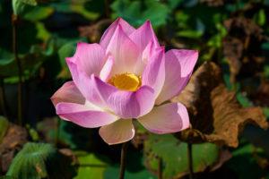 Lotus Blume Metta Liebe