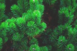 kiefer duft aromatherapie