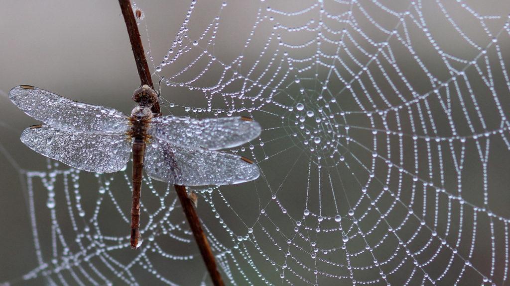 Spinnennetz Libelle